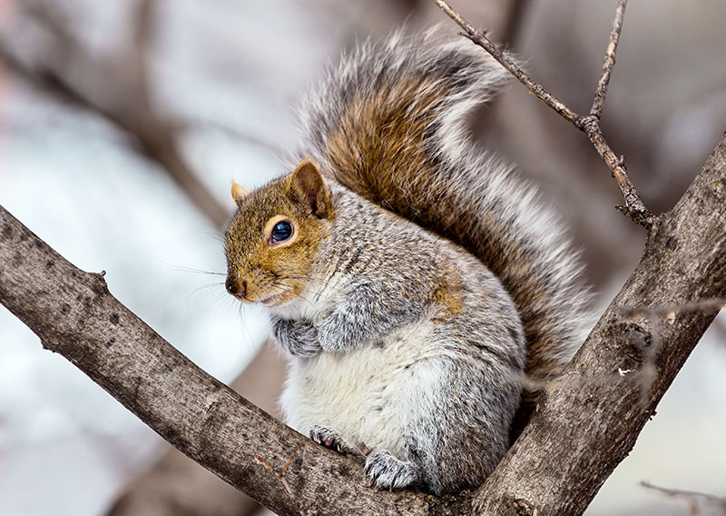 Photo: Maine Eastern Grey Squirrel