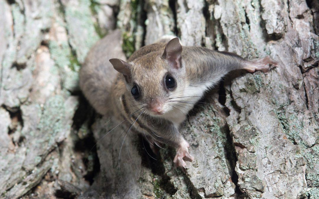 Squirrels Invade Carrabassett Valley Homes