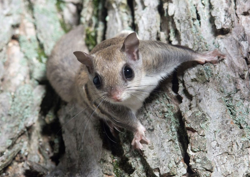 Photo: A Maine Flying Squirrel