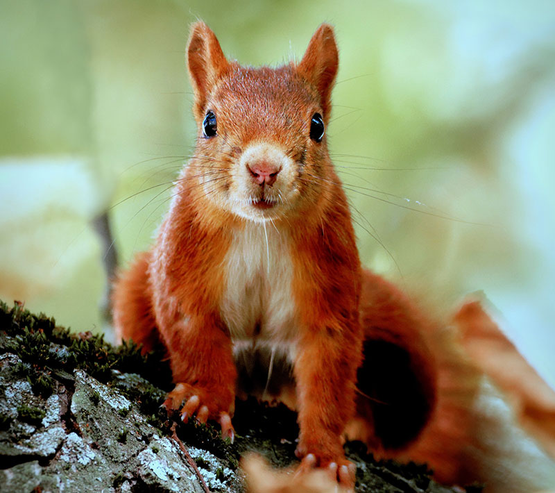 Photo: A Maine Red Squirrel