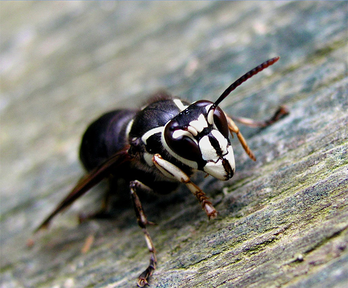 Photo: A closeup of a bald faced hornet on the Hornets Wasps Page