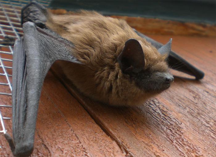 Photo: A Big Brown Bat