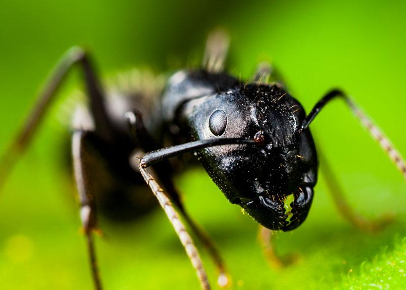 Western Maine Carpenter Ant Extermination