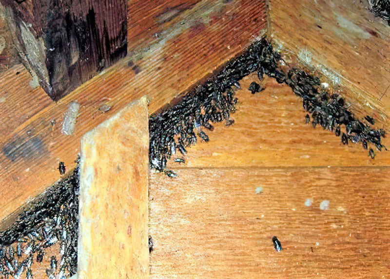 Western Maine Cluster Fly Extermination