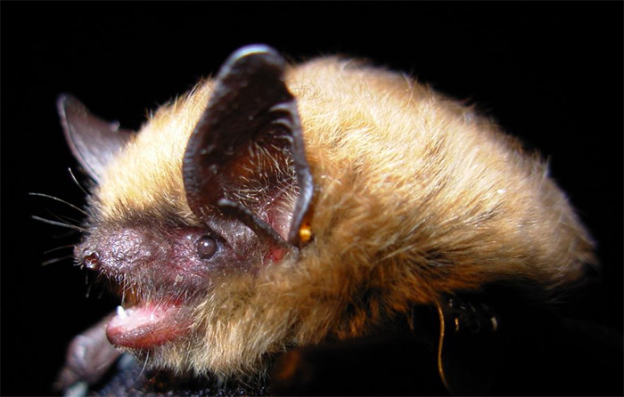 Photo: A Eastern Small Footed Bat