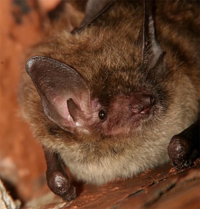 Photo: A Little Brown Bat