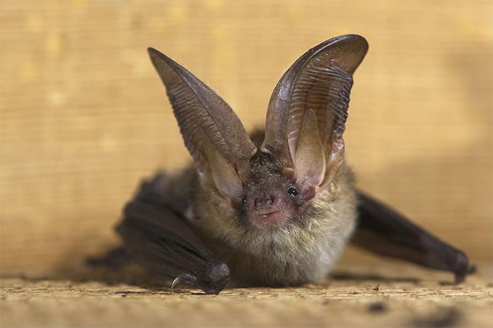 Photo: A Northern Long Eared Bat