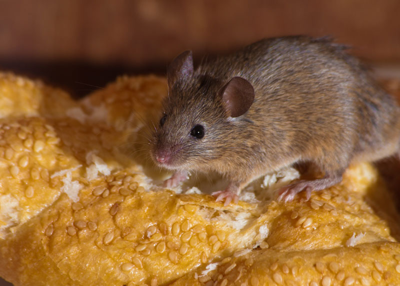 Western Maine mouse exclusion and trapping