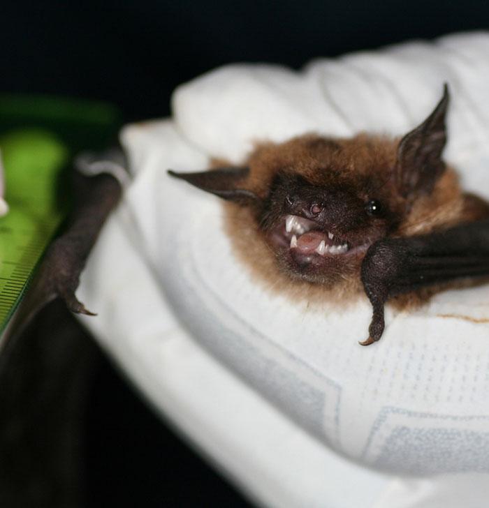 Big Brown Bat. Thanks to U. S. Fish and Wildlife Service - Northeast Region, Public domain, via Wikimedia Commons