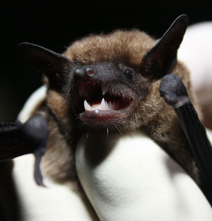 Eastern small-footed bat. Thanks to U.S. Fish and Wildlife Service Southeast Region, Public domain, via Wikimedia Commons