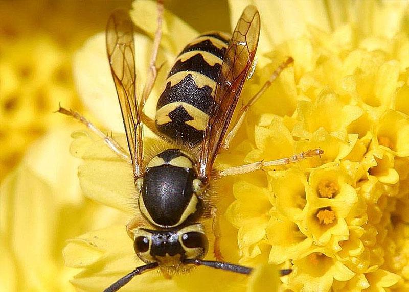 honets at elliott pest control. Jon Sullivan, Public domain, via Wikimedia Commons