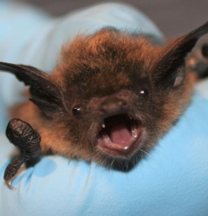 Little Brown Bat. Thanks to USFWS/Ann Froschauer, Public domain, via Wikimedia Commons